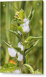 Cuckoo-spit On A Plant Acrylic Print