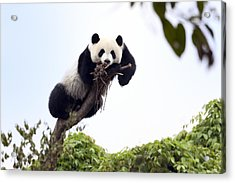 Cute Young Panda Acrylic Print by King Wu