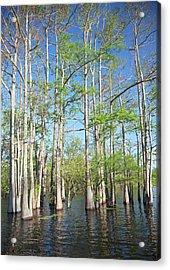 Cypress-tupelo Forest Acrylic Print