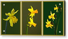 Daffodil Triptych Acrylic Print by Pete Hemington