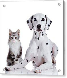 Dalmatian Dog And Norwegian Forest Cat Acrylic Print by Tetsuomorita