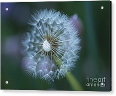 Dandelion Acrylic Print by Alana Ranney