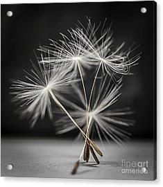 Dandelion Seeds Acrylic Print by Elena Elisseeva