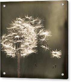 Acrylic Print featuring the photograph Dandelion by Yulia Kazansky