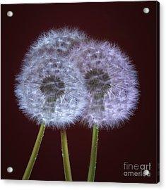 Dandelions Acrylic Print by Donald Davis