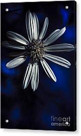 Dark Blue Daisy Blossoming In A Romantic Twilight  Acrylic Print