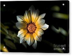 Dark Daisy Flower Acrylic Print