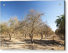 Dead And Dying Almond Trees Acrylic Print