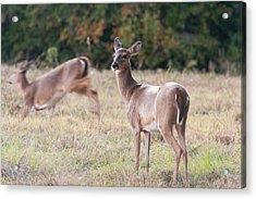 Acrylic Print featuring the photograph Deer At Paynes Prairie by Paul Rebmann