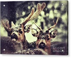 Acrylic Print featuring the photograph Deer In The Snow by Nick  Biemans