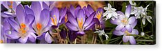 Details Of Early Spring And Crocus Acrylic Print by Panoramic Images