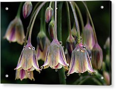 Dew Bells Acrylic Print