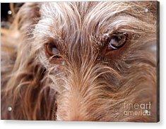 Dog Stare Acrylic Print