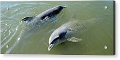 Dolphins In The Sea, Varadero, Matanzas Acrylic Print by Panoramic Images
