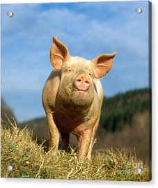 Domestic Pig Acrylic Print by Hans Reinhard