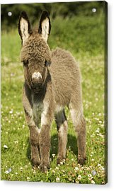 Donkey Foal Acrylic Print by Jean-Michel Labat