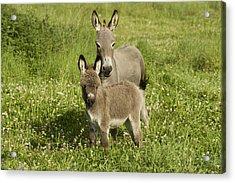 Donkey With Foal Acrylic Print by Jean-Michel Labat