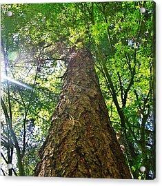 Douglas Fir Tree Rising Acrylic Print