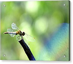 Dragonfly Acrylic Print by Balica  Marius