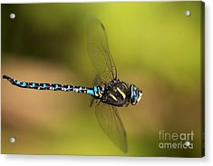 Dragonfly Acrylic Print by Sharon Talson