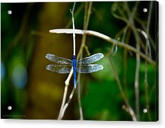Dragonfly Acrylic Print by Tara Potts