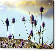 Dream Field Of Teasels Acrylic Print by Gothicrow Images