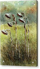 Dried Up Sunflower Patch Acrylic Print