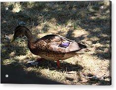 Duck - Animal - 011311 Acrylic Print