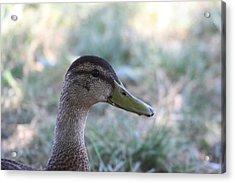 Duck - Animal - 01134 Acrylic Print