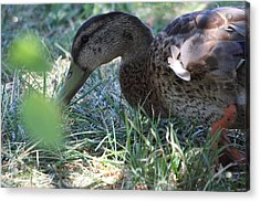 Duck - Animal - 01138 Acrylic Print by DC Photographer