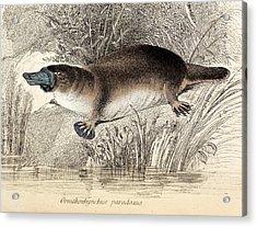 Duck-billed Platypus Acrylic Print