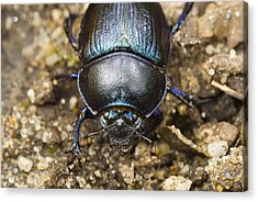 Dung Beetle Acrylic Print by Science Photo Library