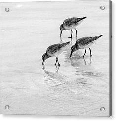 Dunlin Trio Bw Acrylic Print