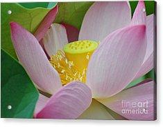 East Indian Lotus Acrylic Print
