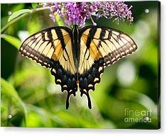 Eastern Tiger Swallowtail Butterfly Acrylic Print by Karen Adams