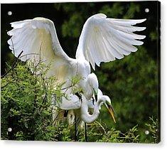 Egret Love Acrylic Print by Paulette Thomas