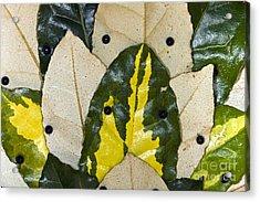 Elaeagnus Pungens Maculata Leaves Acrylic Print by Dr. Keith Wheeler