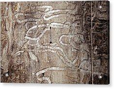 Emerald Ash Borer Tracks On Dead Tree Acrylic Print