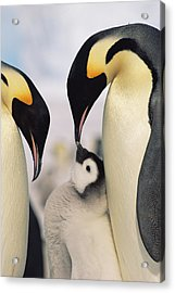 Emperor Penguin Parents With Chick Acrylic Print