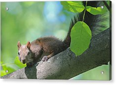 Acrylic Print featuring the photograph Euroasian Red Squirrel - Sciurus Vulgaris by Jivko Nakev