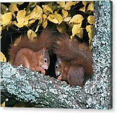 European Red Squirrels Acrylic Print by Hans Reinhard