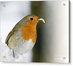 European Robin Feeding On A Mealworm Acrylic Print by Duncan Shaw