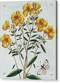 Evening Primrose Acrylic Print by Pierre Joseph Buchoz
