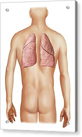 External Projection Of The Lungs Acrylic Print by Asklepios Medical Atlas