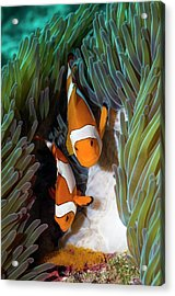 False Clownfish Spawning Acrylic Print
