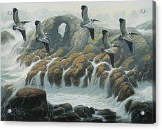 Farallon Pelicans Acrylic Print by Marte Thompson