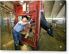 Farmer Checking A Cow's Hoof Acrylic Print by Jim West
