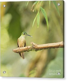 Fawn-breasted Brilliant Hummingbird Acrylic Print by Dan Suzio