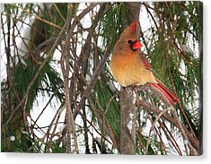 Female Cardinal Acrylic Print by Everet Regal