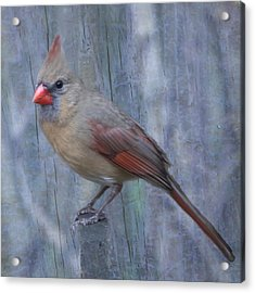 Female Cardinal Acrylic Print by John Kunze